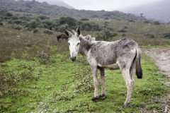 Donkey. An old white donkey grazing in a meadow Stock Photography