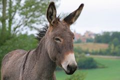 Donkey. A donkey in the french country side Stock Images