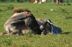 Donkey. Newborn donkey and mother in grass Stock Photos
