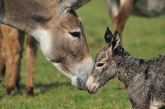 Donkey. Newborn donkey and mother in grass Royalty Free Stock Photography