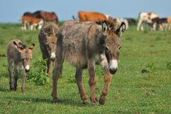 Donkey. Newborn donkey and mother in grass Stock Image