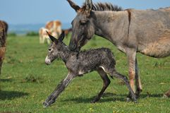 Donkey. Newborn donkey and mother in grass Stock Photography