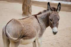 The donkey Royalty Free Stock Photos