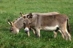 Donkey. Two burros grazing in a lush green pasture Stock Image