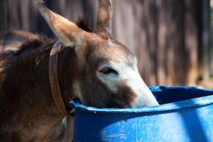 Donkey (2). Royalty Free Stock Image