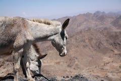 Donkey. In haraz mountains, yemen Royalty Free Stock Photography