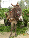 A donkey. Loaded up with supplies Stock Photos