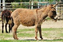 Donkey. Graze in Koral,food Royalty Free Stock Photo