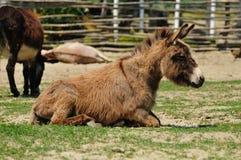 Donkey. Koral gray donkey lying on the grass Stock Photography