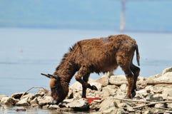 Donkey. Watering hole on the donkey Stock Photos