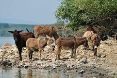 Donkey. Gray donkeys at watering hole Stock Images