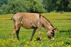 Donkey. Gray donkey graze in the meadow Stock Photography