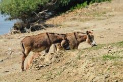 Donkey. Watering hole on the donkey Stock Photography