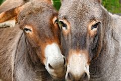 Free Donkey Stock Photos - 22618383