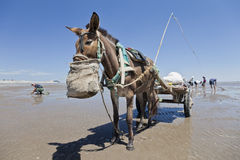 A donkey. Was eating hay, while its owner was digging for clams for sale one a beach Stock Photography