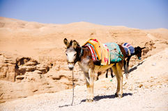 Donkey. On a leash in Judea desert Stock Photography