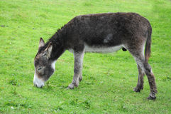 Donkey. Eating grass in the meadow Royalty Free Stock Photo