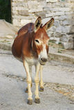 Donkey. Brown Donkey on the road Royalty Free Stock Image