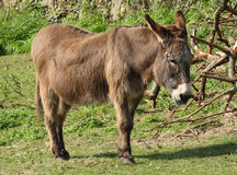 A donkey. Stock Photos