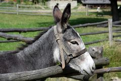 Donkey. Very wondering donkey at ranch Stock Photography