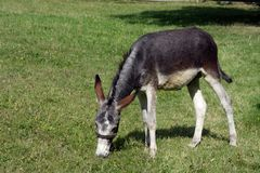 Donkey. Very wondering donkey at ranch Royalty Free Stock Photography
