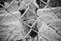 Donkey. A sad Donkey in cage Royalty Free Stock Photography