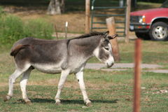 Donkey. A donkey with it\'s head up high Royalty Free Stock Images