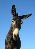 A donkey. Close up of a lone black donkey royalty free stock photography