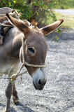 Donkey. Portrait of funny brown donkey royalty free stock photo