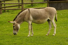 Free Donkey Stock Photos - 32683423