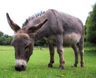 Free Donkey Royalty Free Stock Photos - 3415018