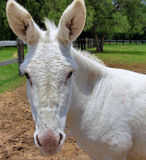 Donkey. Pic of a Mule (offspring of horse and a donkey Stock Images