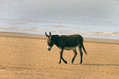 Donkey. Lonely beach donkey on the sands at Weston super Mare, a traditiona English seaside resort Royalty Free Stock Images