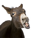 Donkey (4 years). In front of a white background Stock Image