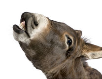 Donkey (4 years). In front of a white background Stock Photography