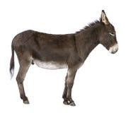Donkey ( 4 years) royalty free stock images