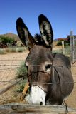 Donkey. A donkey looking through barbwire Stock Images