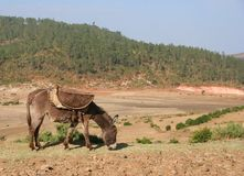 Donkey. A donkey grazing in a dry field in Ethiopia Royalty Free Stock Photography