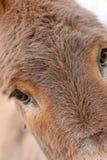 Donkey. Close up of a donkey Stock Photography