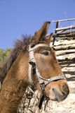 Donkey. Pack donkey in village Leshten Royalty Free Stock Image