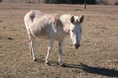 Donkey. A donkey on a farm Royalty Free Stock Image