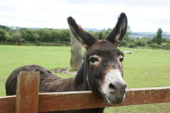 Free Donkey Royalty Free Stock Photo - 6343905