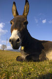 Donkey. Resting on the field in a sunny day Stock Image
