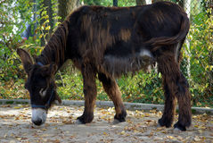 Donkey. Is checking out the ground Royalty Free Stock Image