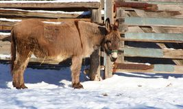 Donkey. A donkey in the snow Stock Image