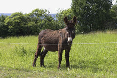 Donkey. In a pasture.  I was surprised how many s I saw in the country side Stock Photography
