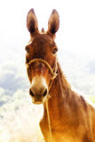 Donkey. A happy donkey with a rope halter Royalty Free Stock Image