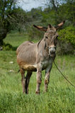 Donkey. Portrait of funny brown donkey Royalty Free Stock Image