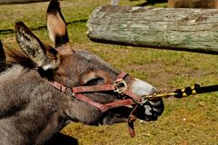 Donkey in an act of stubbornness Stock Photography