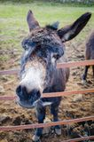 A donkey also known as, ass – Equus africanus asinus – leans of the pasture gate to curiously greet the viewer. The image was taken in Ballymena royalty free stock photo